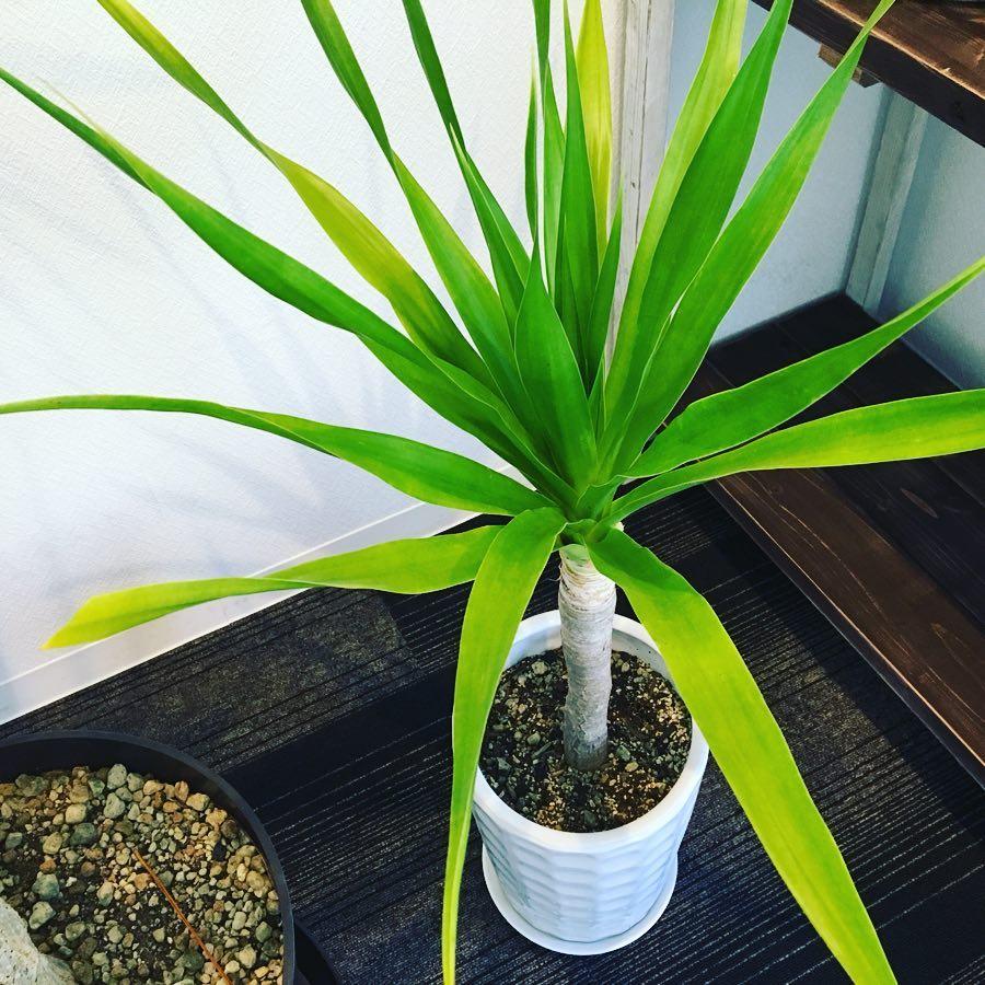 レディースデイ ラボから〜 ラボにある観葉植物の中でも#スタイリッシュ な#ドラセナ  パラオです。あまり店頭では見かけられない珍しい植物です。緑色が鮮やかでラボの中でも目が覚める様なGreenで一際目立ってます。名の通りパラオ諸島原産なので12月でもドラセナのあたりは南国の雰囲気です!