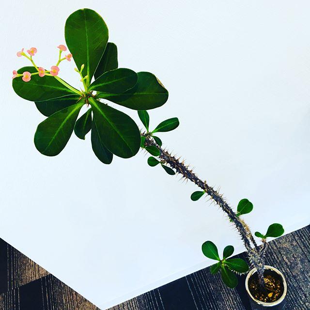 華金✨の#レディース DAY ラボからのお届け〜 去年の12月19日にご紹介しました#LABO の中でも高身長の#ユーフォルビア #花キリンがお花を産みました〜